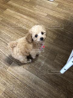 犬,茶色,部屋,トイプードル,室内犬,こいぬ,ミルクティー色