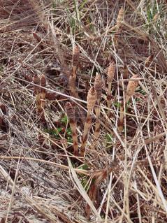 自然,春,屋外,植物,雑草,つくし,空き地,ミルクティー色