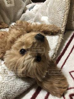 犬,動物,茶色,トイプードル,室内犬,こいぬ,ミルクティー色