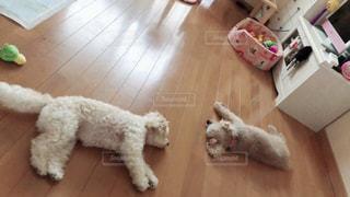床に横たわっている犬の写真・画像素材[2091488]