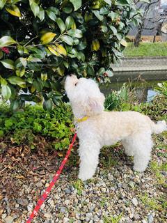 鎖につながれた白い犬の写真・画像素材[2261224]