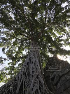 森の大きな木の写真・画像素材[969148]