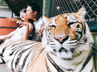 タイガーと戯れの写真・画像素材[1773548]