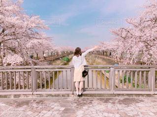 桜の並木道の写真・画像素材[1796392]