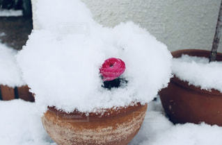 雪とラナンキュラスの写真・画像素材[1771106]