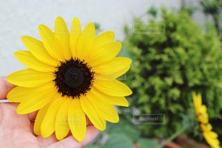 ひまわり,黄色,向日葵,ビタミンカラー,イエロー,色,黄,庭の花