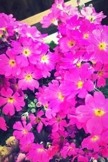 桃色の花の写真・画像素材[1809406]