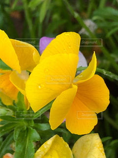緑の葉の黄色い花の写真・画像素材[2142393]
