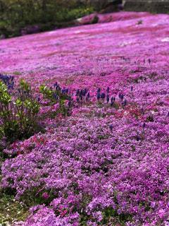 大きな紫色の花は、庭の写真・画像素材[1790768]