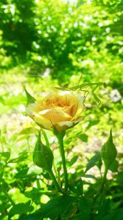 自然,花,夏,黄色,バラ,鮮やか,薔薇,樹木
