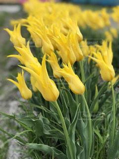 自然,花,夏,黄色,チューリップ,鮮やか