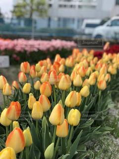 自然,花,春,屋内,屋外,黄色,アート,チューリップ,鮮やか,樹木
