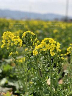 自然,花,春,屋外,黄色,菜の花,景色,鮮やか,草,草木