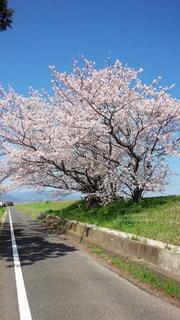 桜,青空,道,桜吹雪,桜の木の下
