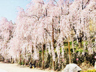 桜吹雪,枝垂れサクラ