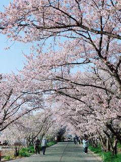 桜並木,桜吹雪,桜の木の下