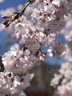桜🌸のアップの写真・画像素材[1885375]