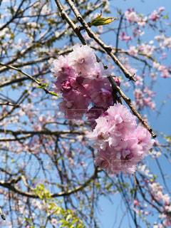 桜の写真・画像素材[1969388]