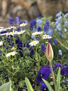 紫色の花で春のガーデニングの写真・画像素材[3045377]