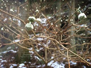 雪山に咲く三又の花と木のアップの写真・画像素材[1771428]