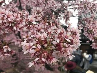 春,桜,屋外,京都,ピンク,花見,お花見