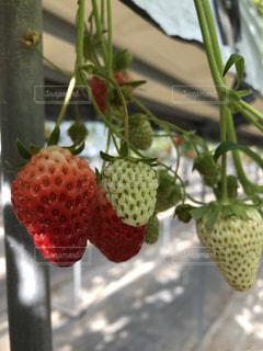 春,葉っぱ,いちご,苺,フルーツ,果物,strawberry,イチゴ