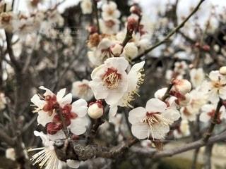 梅,梅の花,3月,白梅,春の彼岸,三寒四温