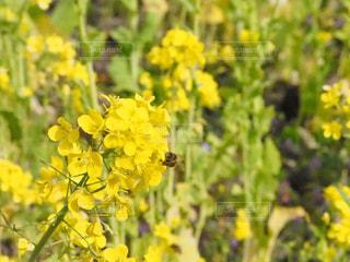 花,春,屋外,黄色,菜の花,ミツバチ,草木,春の花
