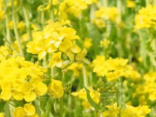 花,春,屋外,黄色,菜の花,草木,春の花