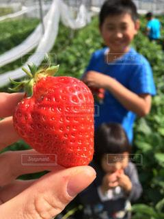子ども,屋外,手,鮮やか,子供,いちご,苺,果物,人物,人,苺狩り