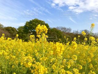春,青空,黄色,菜の花