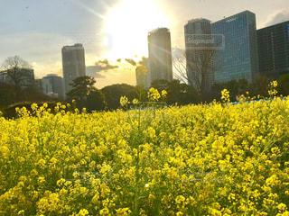 夕日,青空,夕焼け,黄色,菜の花,黄