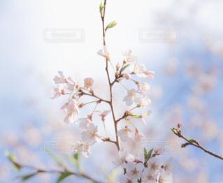桜の写真・画像素材[1981782]