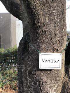 公園,春,桜,Spring,桜の木,ソメイヨシノ