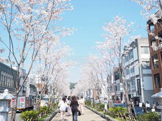 自然,花,春,桜,屋外,花見,お花見,人物,鎌倉,ライフスタイル,段葛