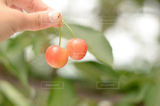 赤,フルーツ,果物,さくらんぼ,果実,さくらんぼ狩り,cherry,fruits,サクランボ,サクランボ狩り