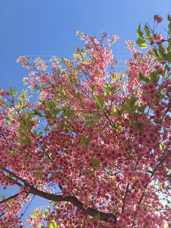 自然,空,花,桜,屋外,ピンク,晴天,水色,花見,樹木,お花見