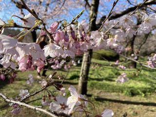 自然,花,春,桜,木,屋外,樹木,お花見,イベント,草木,桜の花,さくら