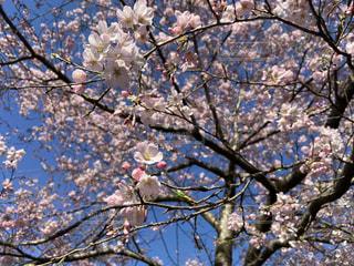 自然,空,花,春,桜,木,ピンク,枝,季節,お花見,イベント,さくら