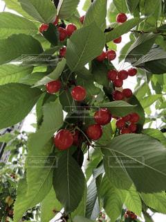 花,葉,果物,樹木,さくらんぼ,草木,熱帯,フローラ