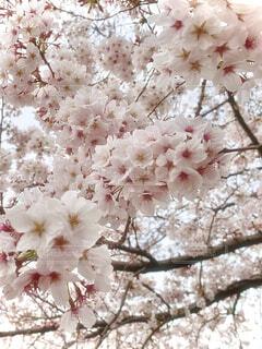 春、桜咲くの写真・画像素材[4286078]