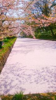 自然,花,春,桜,木,屋外,ピンク,水面,花見,景色,花びら,樹木,お花見,イベント,散る,花筏,草木,はないかだ