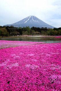 富士芝桜まつりでの一枚。の写真・画像素材[1792798]
