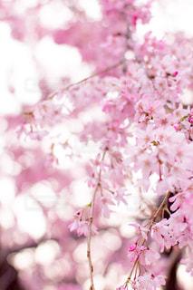 花,春,桜,木,ピンク,きれい,並木,玉ボケ,桜の花,さくら