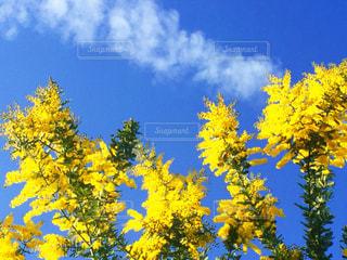 自然,空,花,屋外,植物,雲,晴れ,青空,晴天,青,青い空,黄色,鮮やか,爽やか,清々しい,飛行機雲,イエロー,天気,色,黄,空気,草木,午前中,yellow,フォトジェニック,花粉,晴れやか,インスタ映え,庭の木