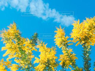 空,花,屋外,植物,青空,黄色,鮮やか,飛行機雲,ミモザ,イエロー,快晴,天気,カラー,色,color,黄,空気,草木,午前中,yellow,フォトジェニック,晴れの国,晴れの国岡山,晴れやか,インスタ映え,庭の木