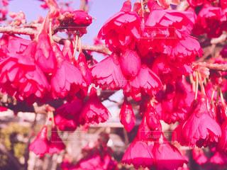 花,春,桜,屋外,ピンク,赤,綺麗,鮮やか,サクラ,満開,カラー,色,color,草木,見頃,庭木,さくら,緋寒桜
