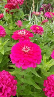 ピンク色のダリアの写真・画像素材[1799432]