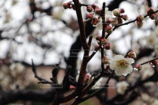 花,木,雨,庭,植物,梅,雫,梅の花