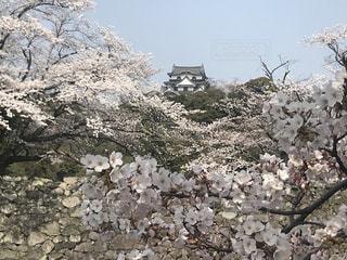 桜に浮かぶ彦根城の写真・画像素材[1795667]